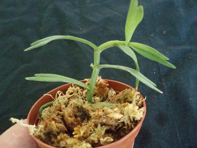 Angraecum erectum - 4