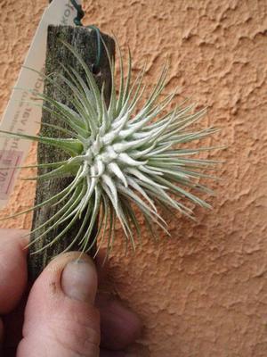 Tillandsia fuchsii v. fuchsii - 4