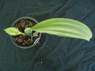 Pholidota sinensis - 4
