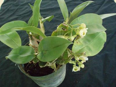 Dendrobium lamellatum - 4
