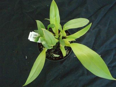 Liparis rhombea - 4