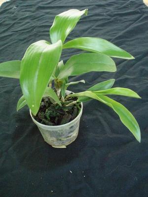 Dendrobium palpebrae - 4