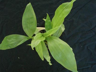 Gongora aromatica - 4