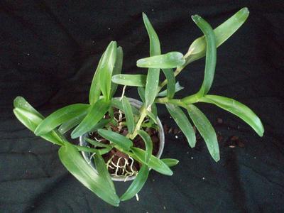 Epidendrum trialatum - 4