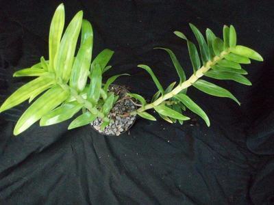 Dendrobium uniflorum - 4