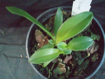 Cattleya bicolor (mladá rostlina) - 4