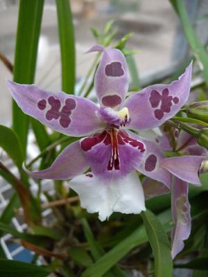 Orchidej pro začátečníky - Cambria/Oncidium a příbuzné rody - 4