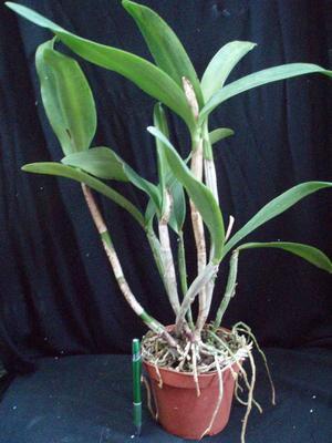 C. granulosa x C. skinneri - 4