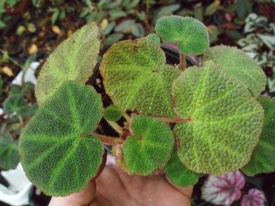 Begonia soli-mutata - 4