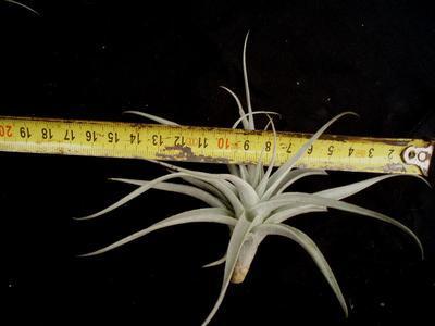 Tillandsia albida (kompaktní forma) - 4