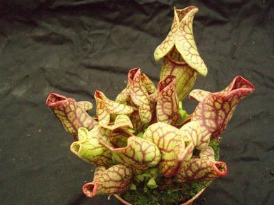 Sarracenia purpurea venosa - 4