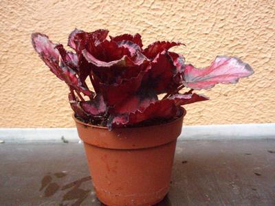 Begonia rex 'Red&Black' - 4