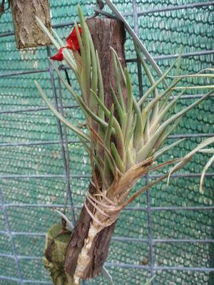 Tillandsia albertiana (menší) - 4