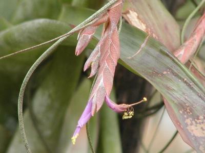 Tillandsia butzii (malá) - 4