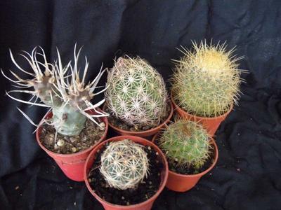 sada 5 různých kaktusů - 5