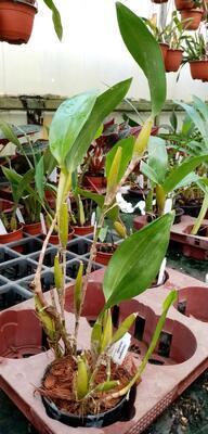 Flickingeria fimbriata - 5