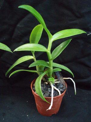 Dendrobium antennatum - 5