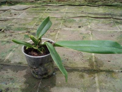 Cattleya warnerii var. alba - 5
