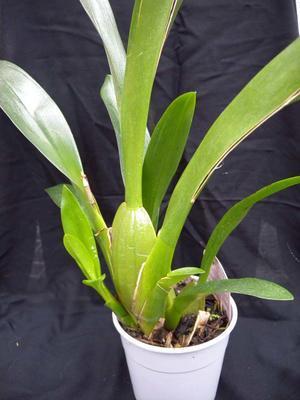 Orchidej pro začátečníky - Cambria/Oncidium a příbuzné rody - 5