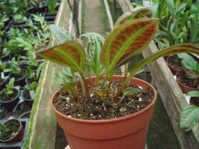 Monolena primuliflora - 5