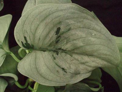 Scindapsus pinnatus 'Happy Leaf' - 5