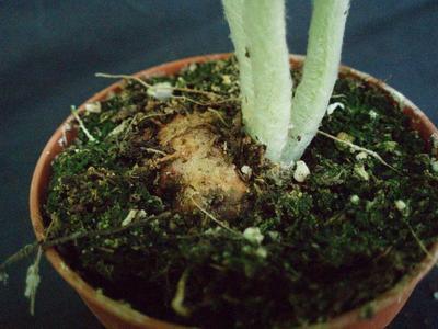 Sinningia leucotricha - 6
