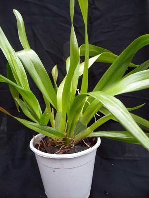 Orchidej pro začátečníky - Cambria/Oncidium a příbuzné rody - 6