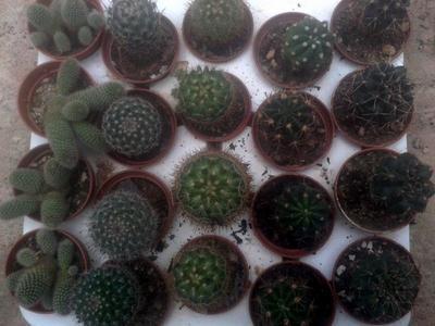 sada 5 různých kaktusů - 7