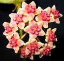 Hoya diversifolia var.  crassipes