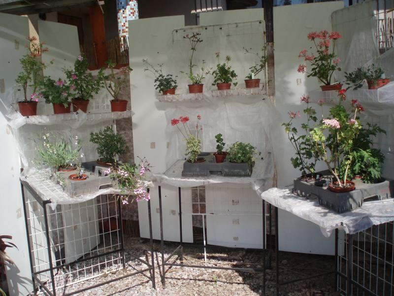 Expozice s naší sbírkou Pelargonií